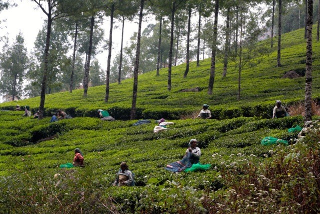 culegatori de ceai